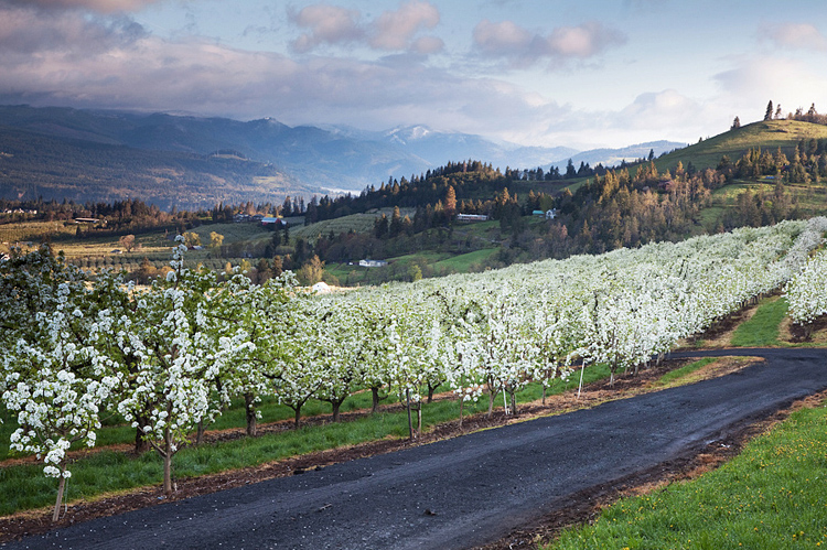 22   Pear Blossom near Hood River