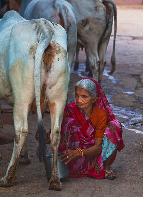 13   Bundi,  milking.
